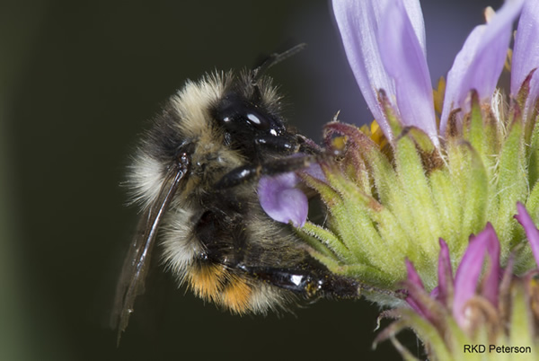 Intro Page Bombus sylvicola on flower, Beartooth Mountains in Carbon County 2015 RKD Peterson