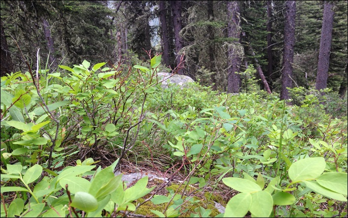 Photo of huckleberry bush in Lincoln County, MT taken by A. C. Dolan