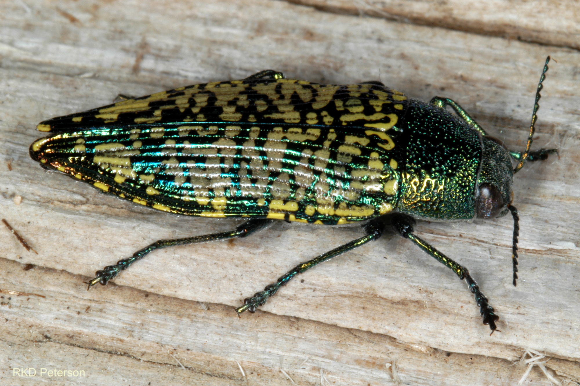 metallic dark green, yellow, and teal beetle Buprestis confluenta